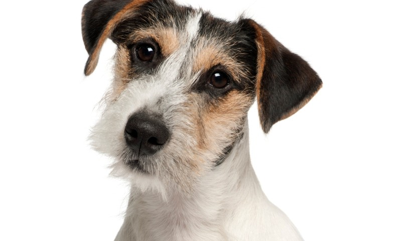 Jack Russell Terrier puppy, five months old, sitting, white background