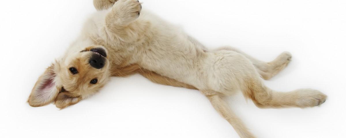 Golden Retriever Puppy Lying Down