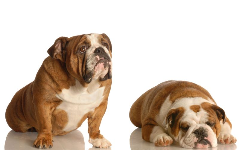 bulldog sedni lehni