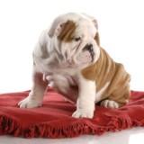 bulldog_stene_misto_3_1335113004