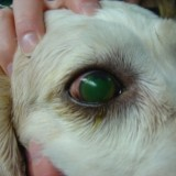 canine_corneal_ulcer_3_1363526629