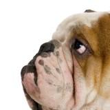 engl_bulldog_hlava_detail__2__1_1335119734