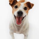 Jack Russell Terrier Panting