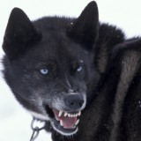 Snarling Sled Dog