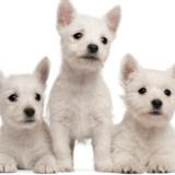 Three West Highland Terrier puppies, seven weeks old, white background.