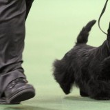 0217_westminster_dog_show_results_full_600_0_1340991243