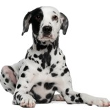 Dalmatian, 2 years old, lying down, white background.