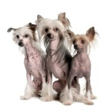 Three Chinese Crested Dog - Hairless (3 years old)