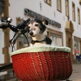 Jack Russel Terrier in bicycle basket Debbie Dame