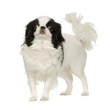 Japanese Chin Dog in front of a white background