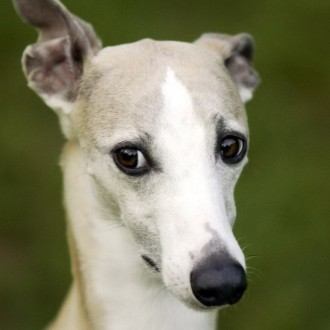 animals_dogs_whippet_026014__1_1337460668