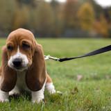 basset_hound_puppy_picture_0_1345729879