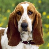 basset_hound_wallpaper_dogs_7013792_1024_768_2_1337458023