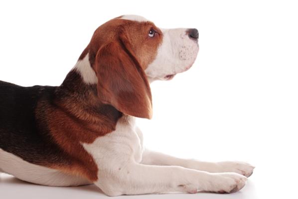 beagle_hlava_profil_4_1377207113