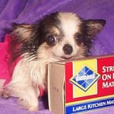 booboo_worlds_smallest_dog_2_1335941732