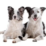 border_collie_2_psi_0_1336851585