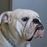 bulldog1_1_1335915251