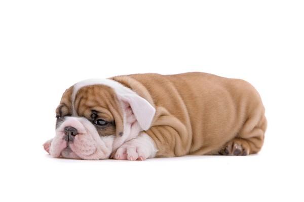 bulldog_lezi_misto_0_1335353870