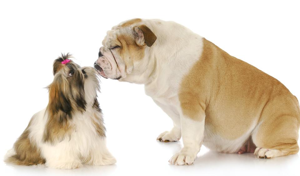 bulldog_privolani_3_0_1377285684