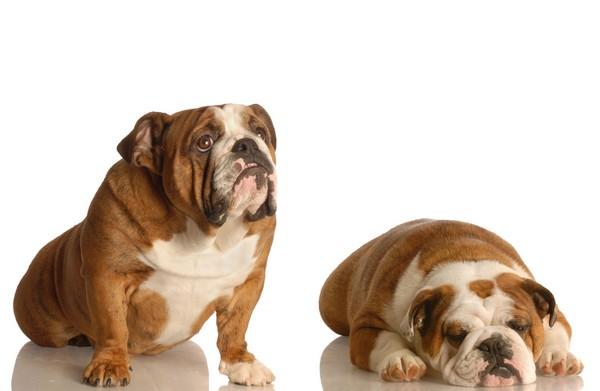bulldog_sedni_lehni_0_1335353671