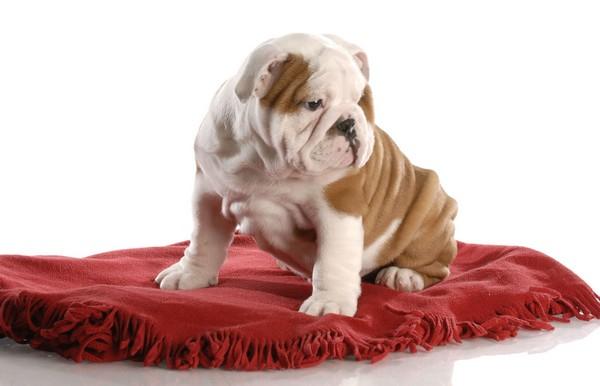 bulldog_stene_misto_0_1335353975