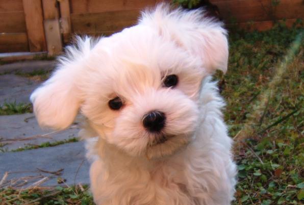 cachorro_de_bichon_maltes_jpg_0_1336678329