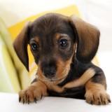 dachshund_puppy_1_1345729881