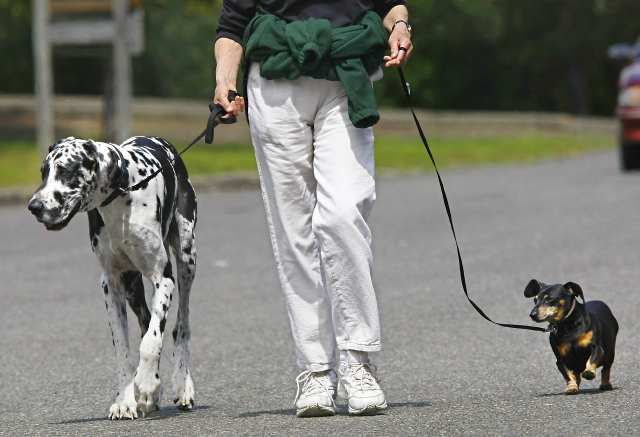 Laura Young walks her dogs in Roseburg, Ore., on Wednesday, April 16, 2008.  Maverick, a Great Dane, on left,  weighs 120-pounds and is 32 inches tall at the shoulder.  Jenny, a dachsund, is 6 inches tall. (AP Photo/The News-Review, Robin Loznak)