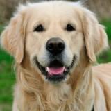 golden_retriever_dog_3_1337459139
