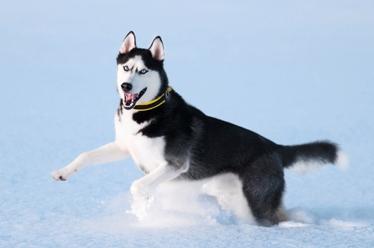 Portrait of siberian husky on snow