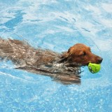 Red Long-Haired Dachshund Swimming