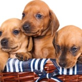 puppies red  dachshund