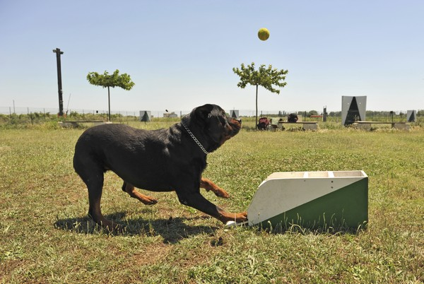 a rottweiler playing with a box of flyball