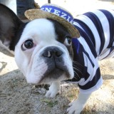 Dressed as a gondolier, Pierre, a French bulldog from New York, takes part in the 18th annual Tompkins Square Halloween Dog Parade canine costume contest Sunday Oct. 26, 2008 in New York. (AP Photo/Tina Fineberg)