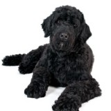 portuguese_water_dog_5_1338112933