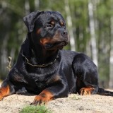 rottweiler_120809_2_1369231061