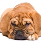 Dogue de Bordeaux puppy (2 months)