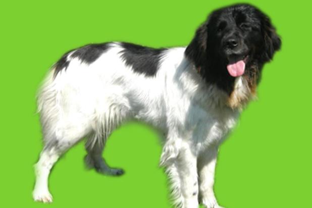 119_cesky horsky pes