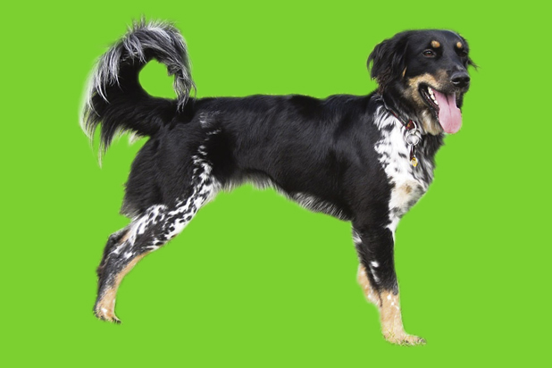 120_cesky-strakaty pes