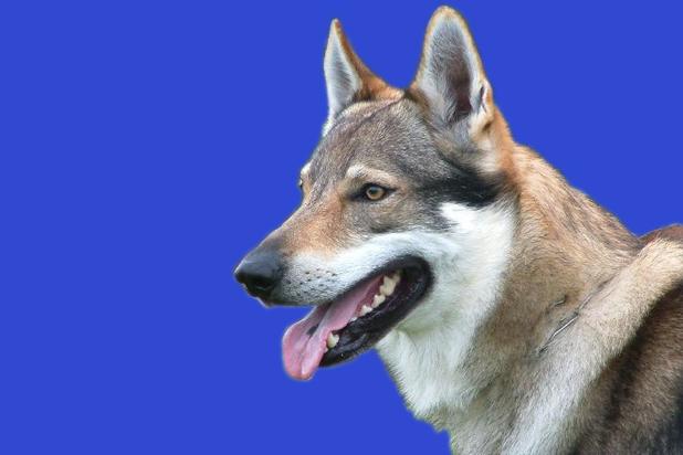 121_czechoslovakian wolfdog