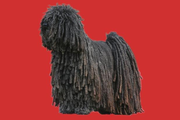 130_komondor hungarian shepdog
