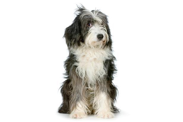 147_tibetan terrier