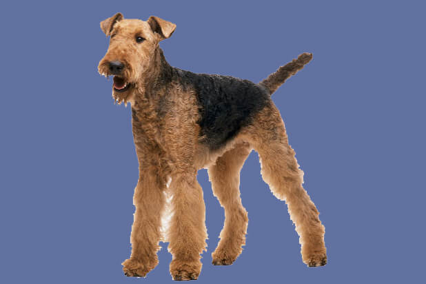 1_airedale_terier_1336115099