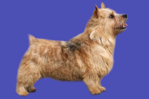 23_Norwich Terrier_1