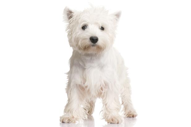 30_west-highland-white-terrier