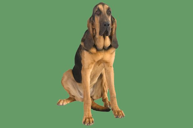 36_bloodhound