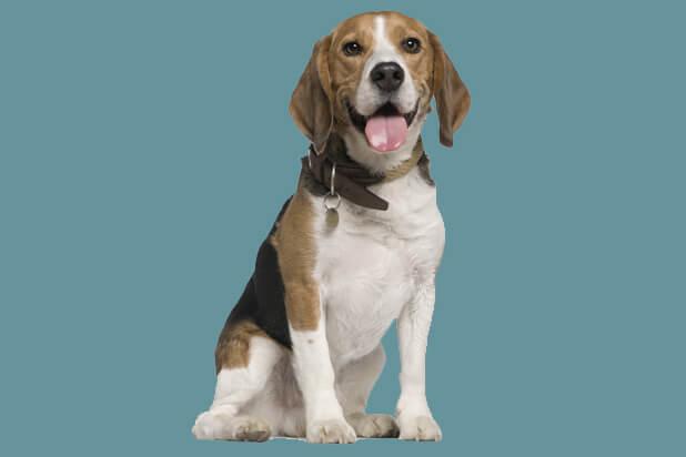 37_beagle_1335945316
