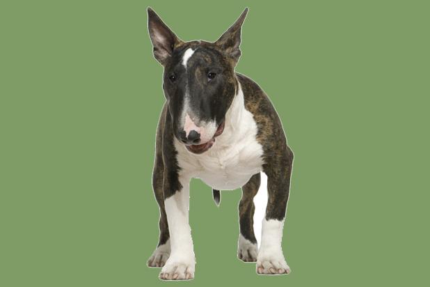7_bull terrier