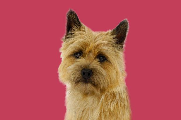 8_cairn_terrier