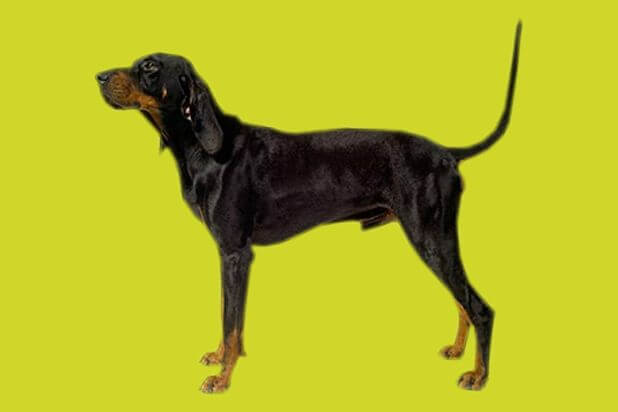 black_and_tan_coonhound_1360660607_618x412